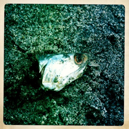 The head of a sardine discarded by a fisherman.  ©Tracy J. Thomas, 2012. All rights reserved.