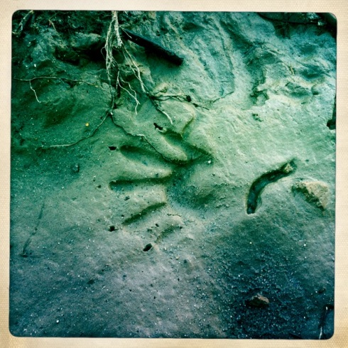 Raccoon and mollusk tracks.  ©Tracy J. Thomas, 2012. All rights reserved.