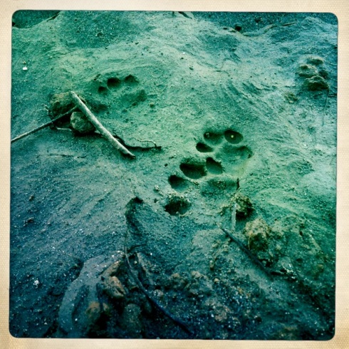 Bobcat prints.  ©Tracy J. Thomas, 2012. All rights reserved.