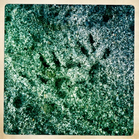 Baby raccoon prints the size of one half of my thumb.  ©Tracy J. Thomas, 2012. All rights reserved.