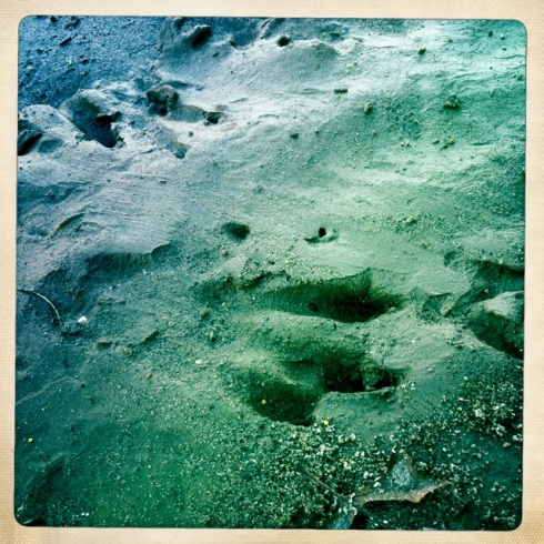 River Otter prints.  ©Tracy J. Thomas, 2012. All rights reserved.
