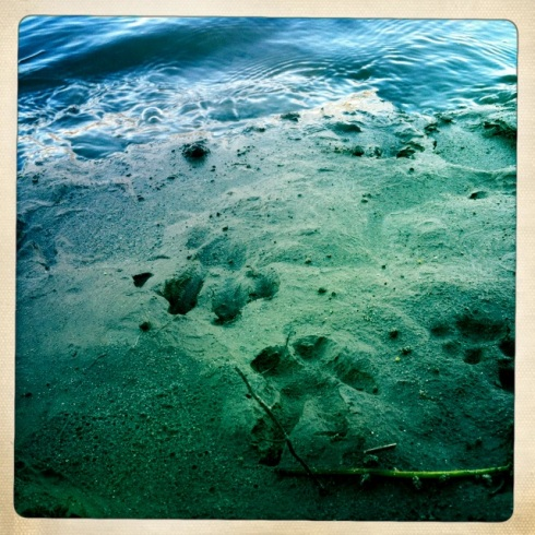 River Otter and Bobcat prints.  ©Tracy J. Thomas, 2012. All rights reserved.