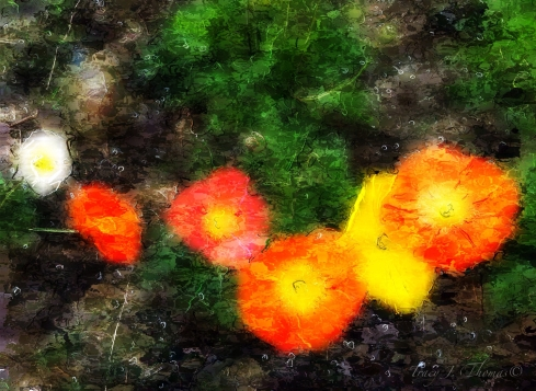 """Poppies in a Row"" - ©Tracy J. Thomas, 2012. All rights reserved."
