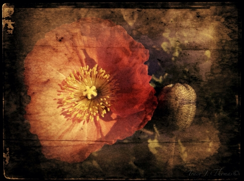 """Icelandic Poppy"" - ©Tracy J. Thomas, 2013. All rights reserved."
