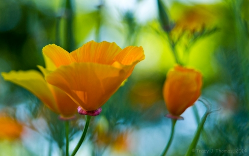 California Poppies. California Poppy. ©Tracy J Thomas, 2014. All rights reserved.