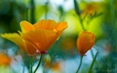 California Poppies. California Poppy. ©Tracy J Thomas, 2014. All rights reserved.