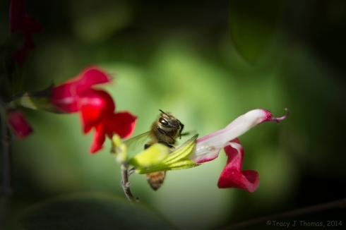 Honey Bee. California Poppy. ©Tracy J Thomas, 2014. All rights reserved.