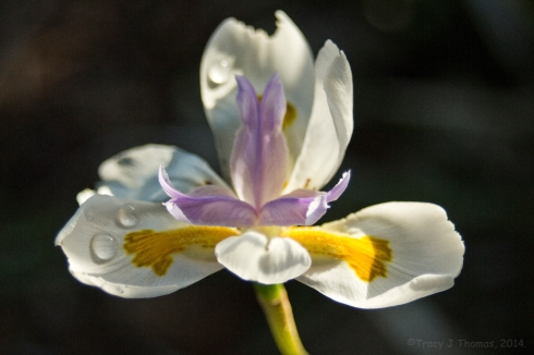 Butterfly Iris. California Poppy. ©Tracy J Thomas, 2014. All rights reserved.