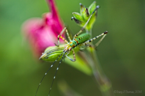 """Katydid Nymph"" - ""Remnants of Wishes Unfulfilled"" - ©Tracy J Thomas, 2014. All rights reserved."