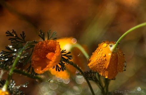 """Spring Showers"" - ""Remnants of Wishes Unfulfilled"" - ©Tracy J Thomas, 2014. All rights reserved."