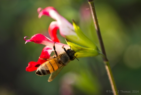 Honey Bee on Salvia - ©Tracy J Thomas, 2014. All rights reserved.