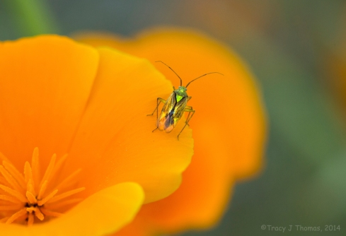 The Poppy and the Beetle - ©Tracy J Thomas, 2014. All rights reserved
