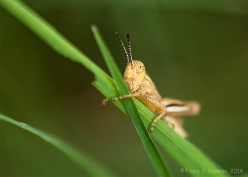 """""""Hopper"""" - ©Tracy J Thomas, 2014. All rights reserved."""