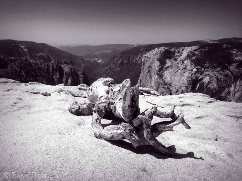 """The Fallen."" - Jeffrey Pine on top of Sentinel Dome with a view of El Capitan and Cathedral Spires in the background. ©Tracy J Thomas, 2014. All rights reserved."
