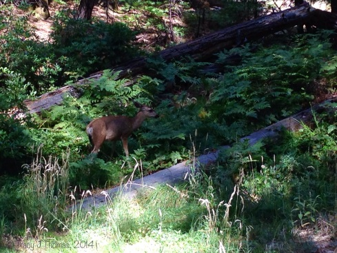 A Mule Deer in the forest. Yosemite National Park. ©Tracy J Thomas, 2014. All rights reserved.